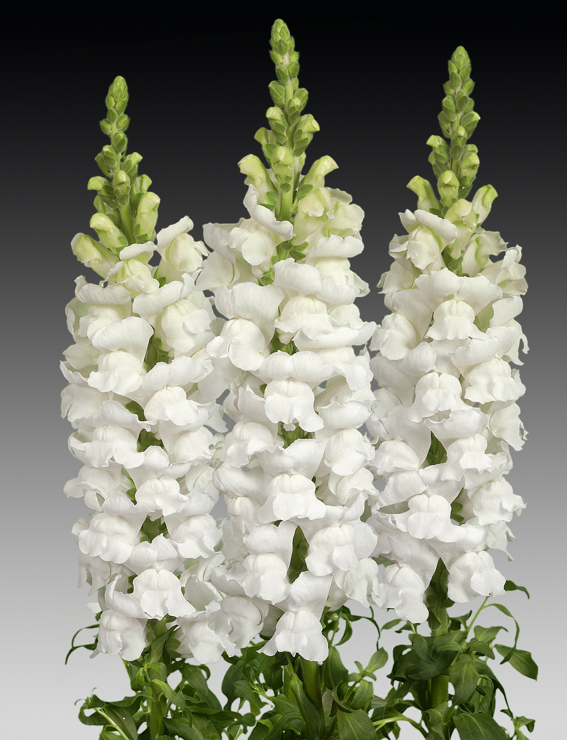 Costa Midly White, Antirrhinum - Noordam Plants